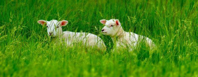 Ovčí vlna_ovečky v trávě